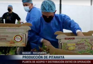 Producción exportable de pitahaya en Manabí